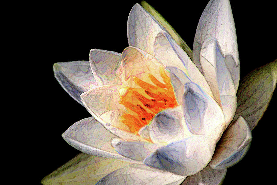 Artistic White LP Water Lily by Don Johnson