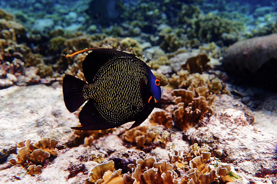 Aruban French Angelfish by Lars Lentz