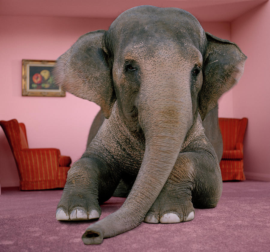 Asian Elephant In Lying On Rug In Photograph by Matthias Clamer