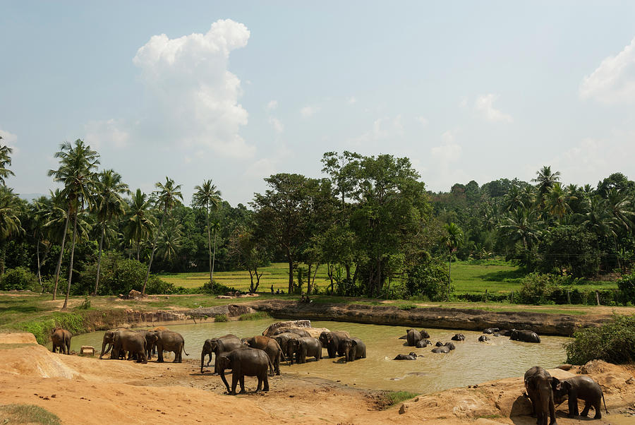 Asian Elephants Bathing Photograph by John Elk Iii
