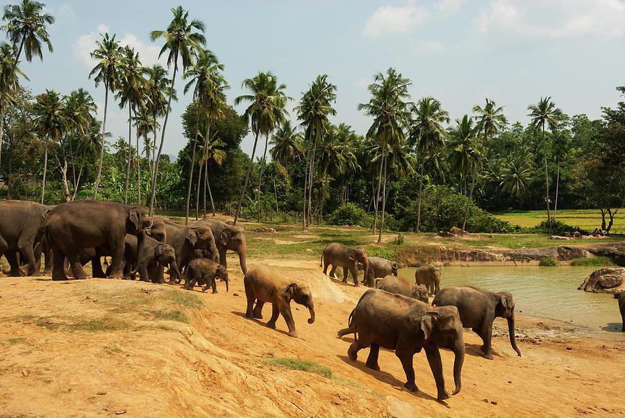 Asian Elephants Going To Bathe Photograph by John Elk Iii