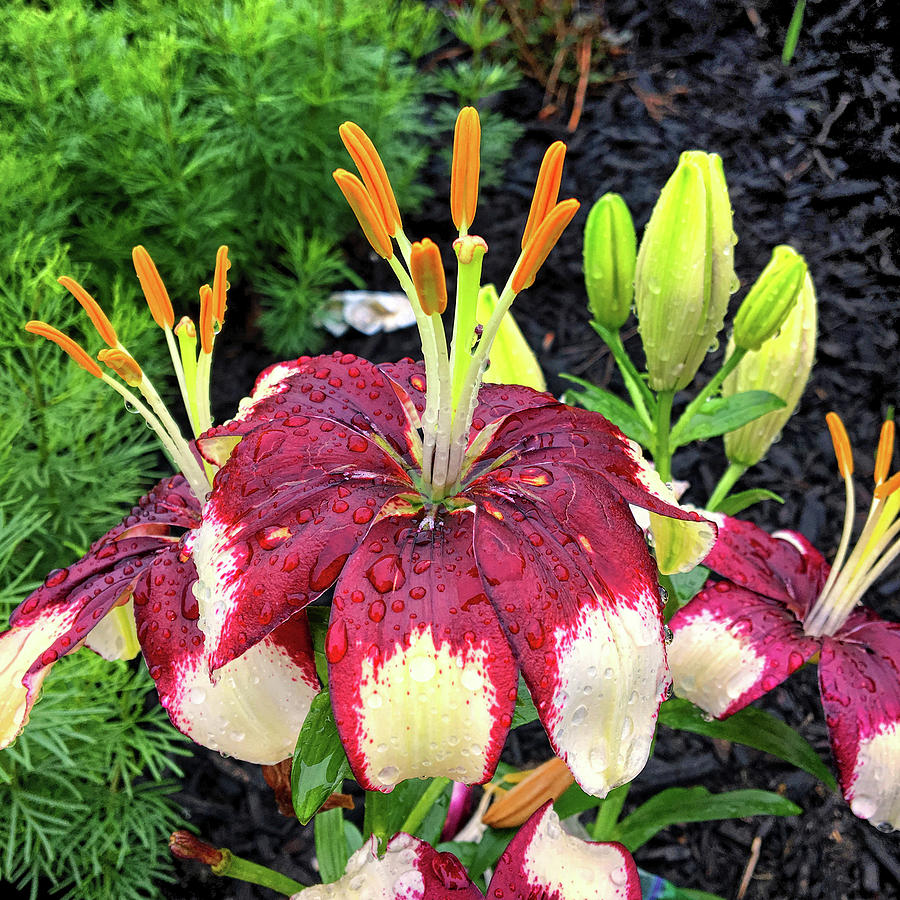 Asian Lily in the Rain by Bill Swartwout Photography