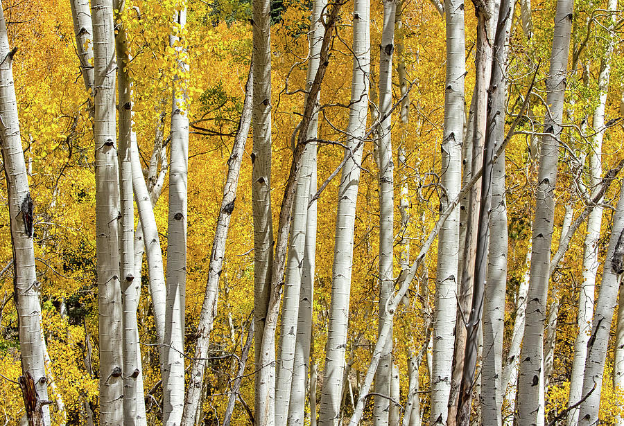 Aspen Autumn by Britt Runyon