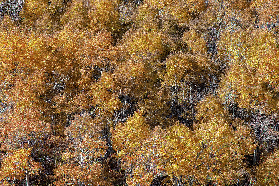 East Glacier Park Village Photograph - Aspen Autumn Leaves by Todd Klassy