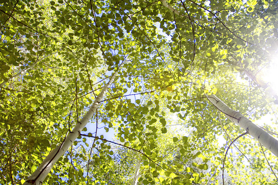 Aspen Canopy with Sun Flare by Lincoln Rogers