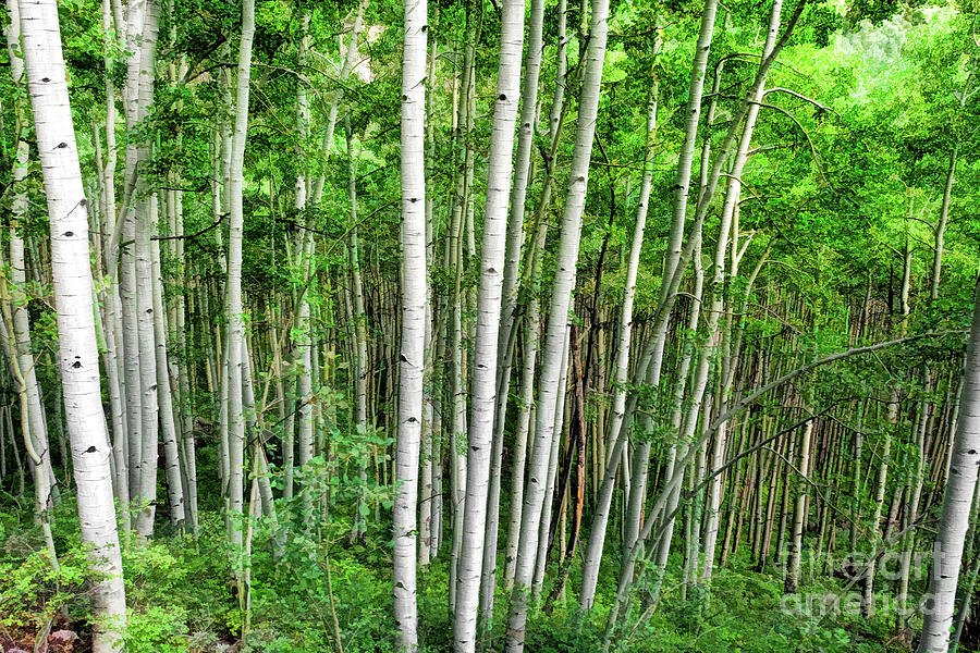 Aspen Forest by Susan Warren