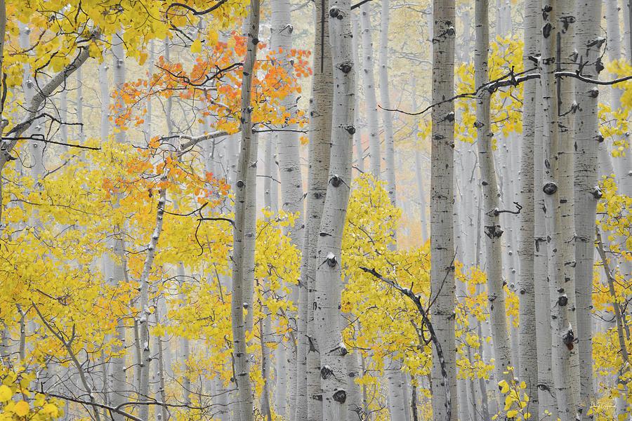 Aspen Forest Photograph - Aspen Forest Texture by Leland D Howard
