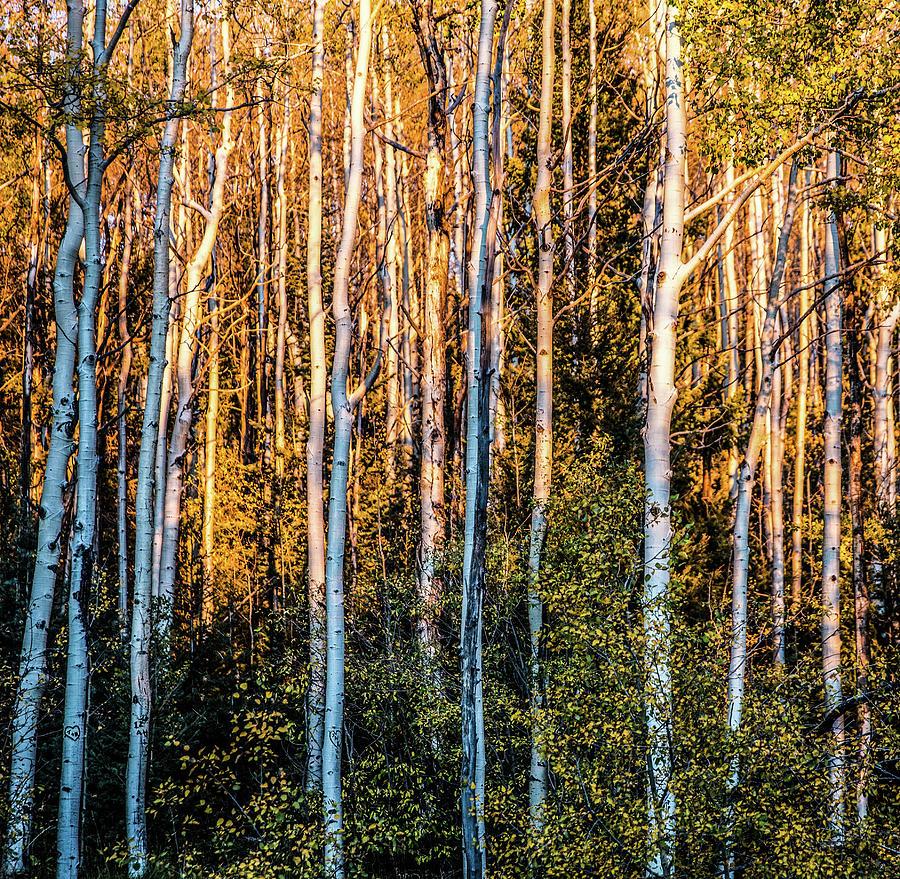 Aspen Photograph - Aspen Glow by Candy Brenton