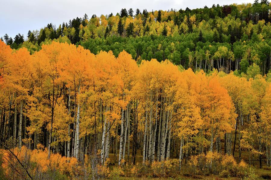 Aspen Grove In Full Color Photograph