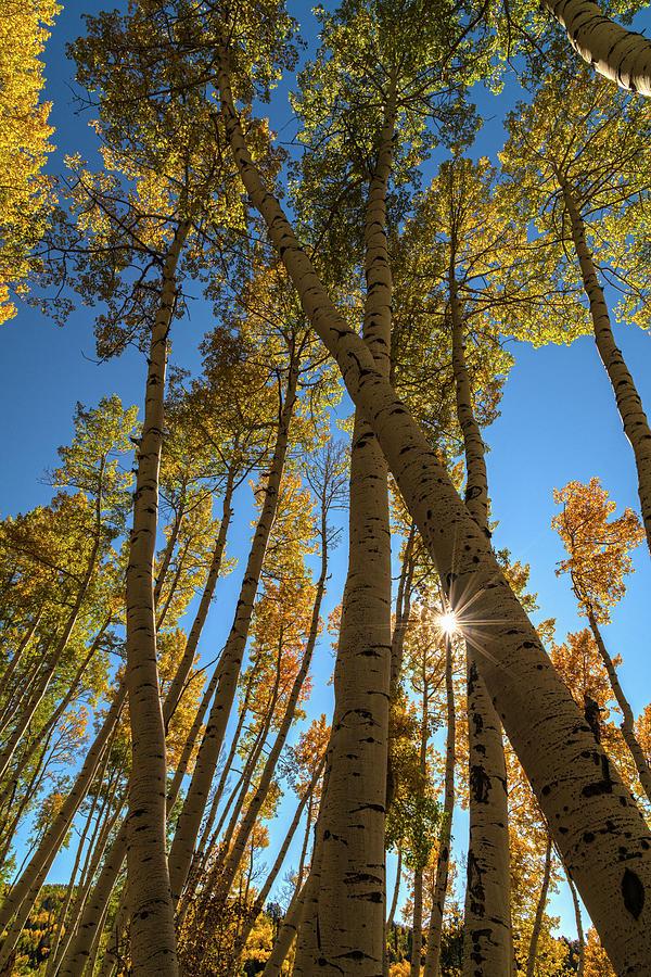 Aspen Grove Starburst by Angelo Marcialis