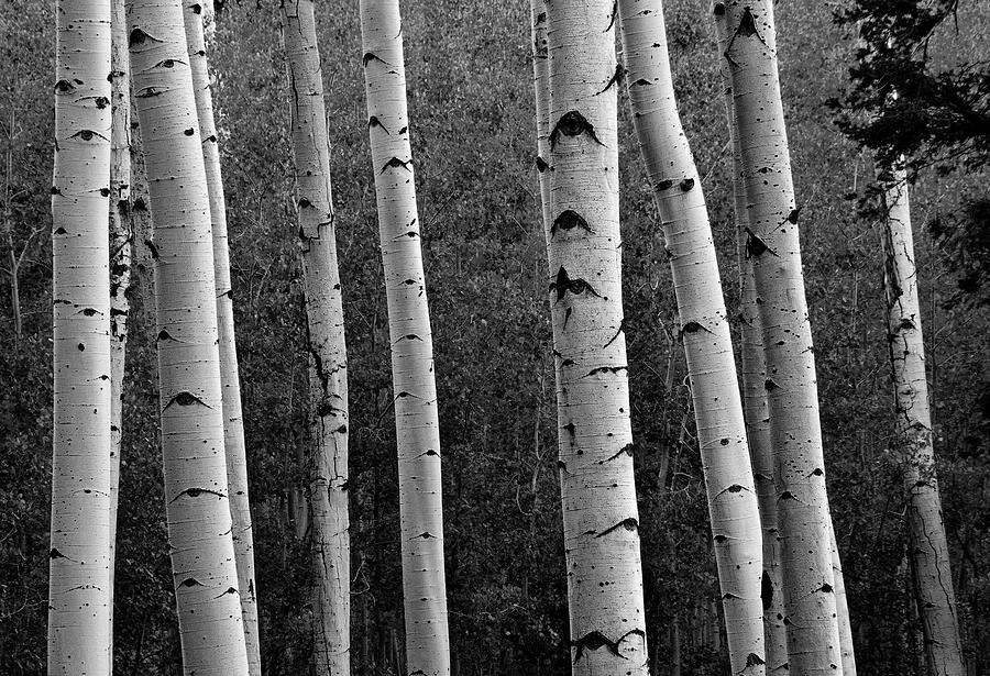 Aspen in Black and White by Dave Dilli