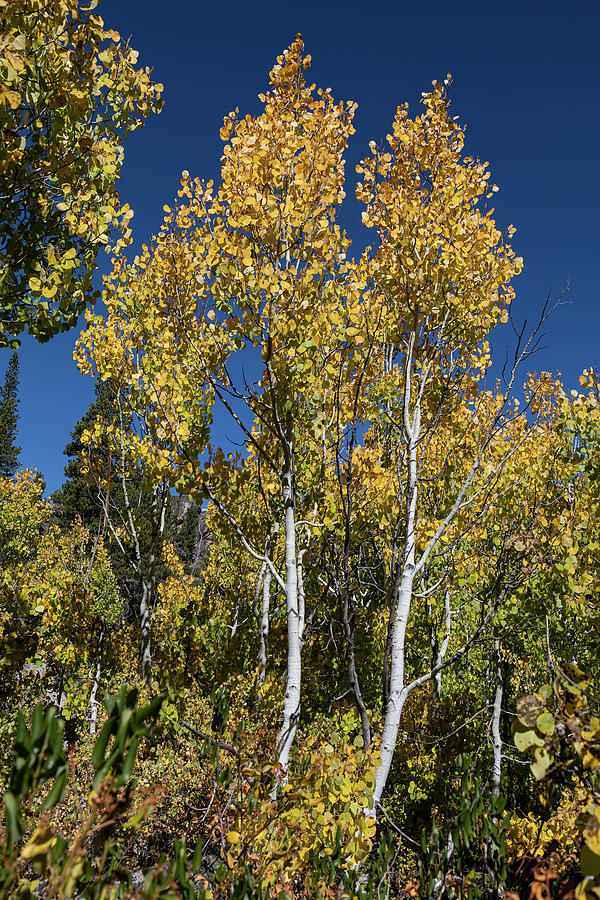 Aspen in Hope Valley by Lisa Malecki