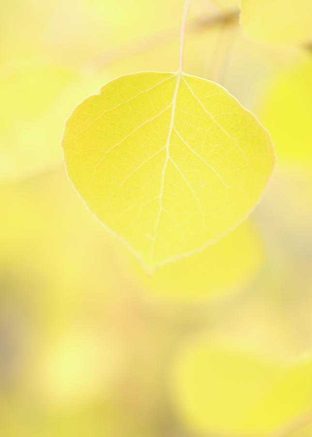 Aspen Leaf Macro Photograph by Cobraphoto