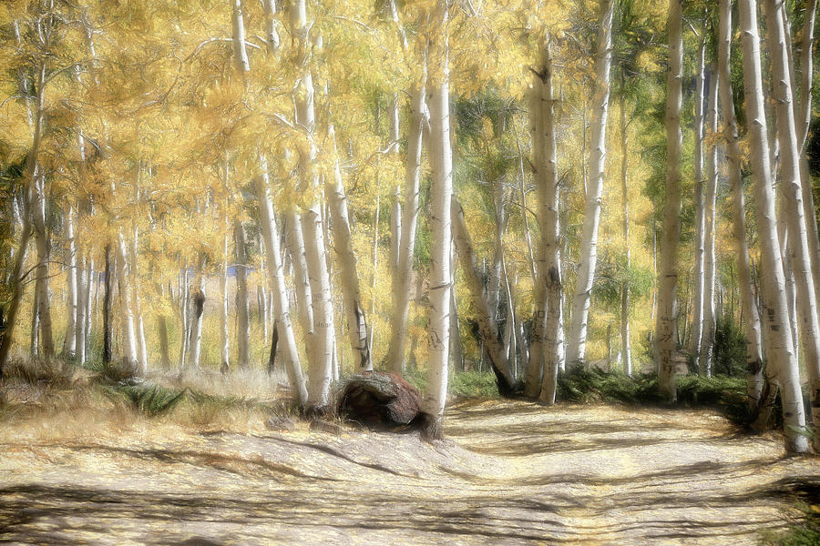 Pando Photograph - Aspen Road by Donna Kennedy