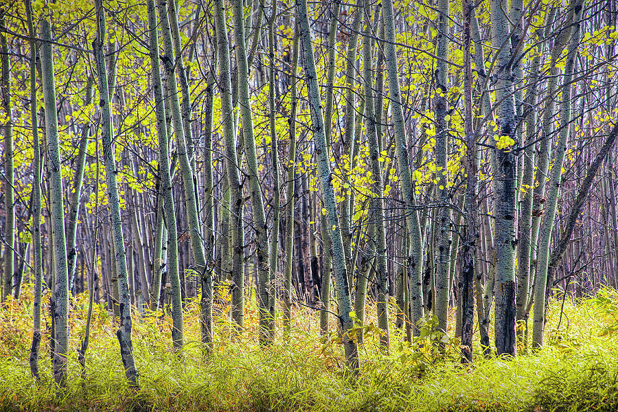 Aspen Tree Grove in Autumn by Randall Nyhof