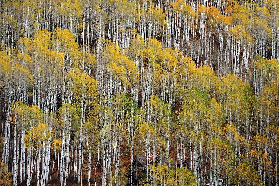 Aspen Tree Pattern Photograph by Piriya Photography