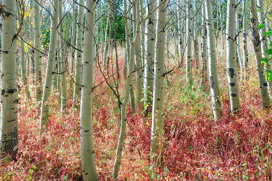 Aspen Tree Trunks And Burning Reds Photograph