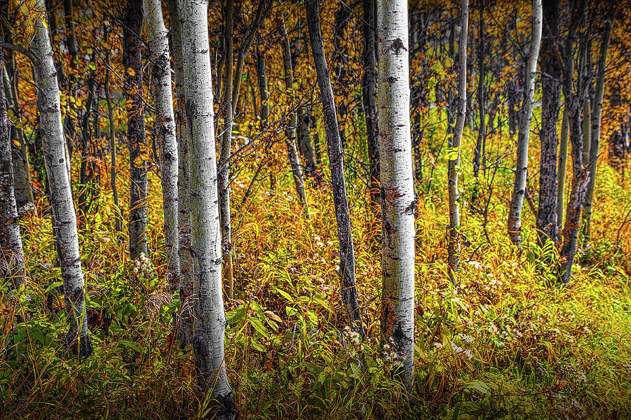 Aspen Tree Trunks in Autumn in Alberta Canada by Randall Nyhof