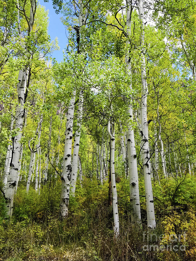 Aspen trees in Colorado by Elizabeth M