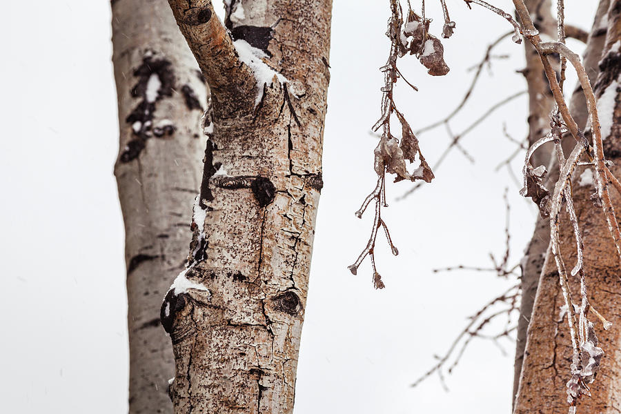 Aspen Trees With Icy Branches by Jeanette Fellows