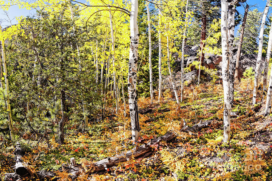 Aspens And Ferns On The Way To Gem Lake - Rocky Mountains National Park Estes Park Colorado Photograph