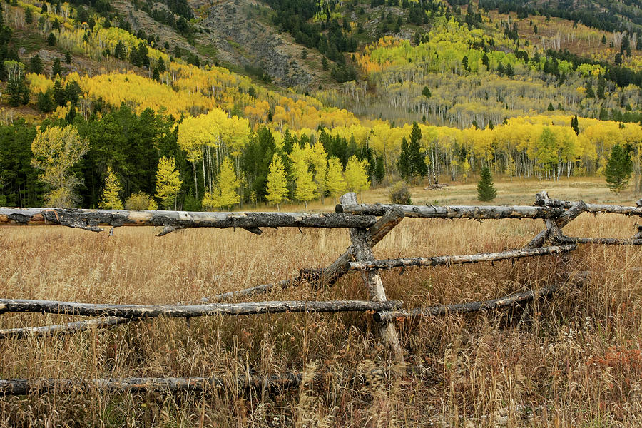 Aspens Galore by Ronnie and Frances Howard