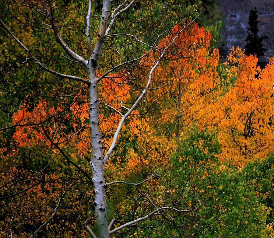 Aspens in Orange by Peter Mathios