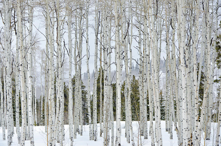Aspens In Winter Photograph by Adventure photo