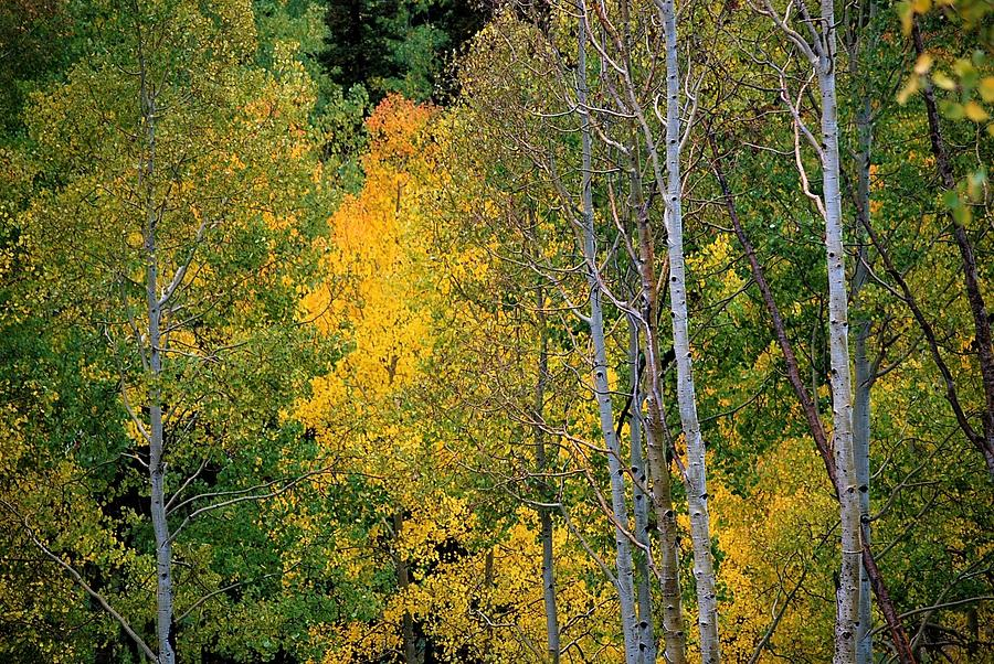 Aspens in Yellow by Peter Mathios