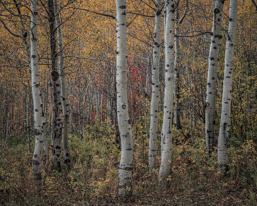 Aspens by Laura Hedien