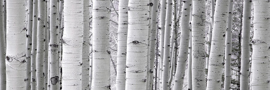Aspens by Ryan Smith