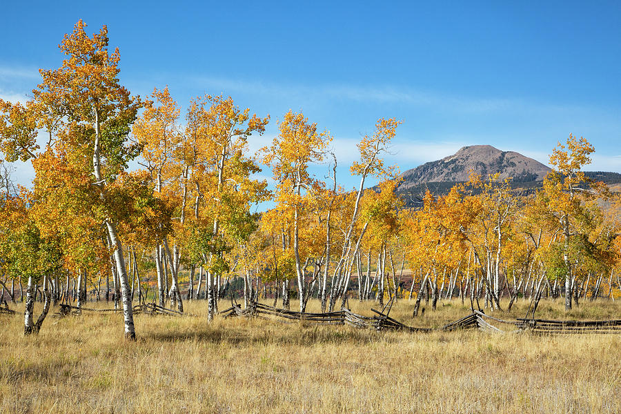Aspens With Attitude by Denise Bush