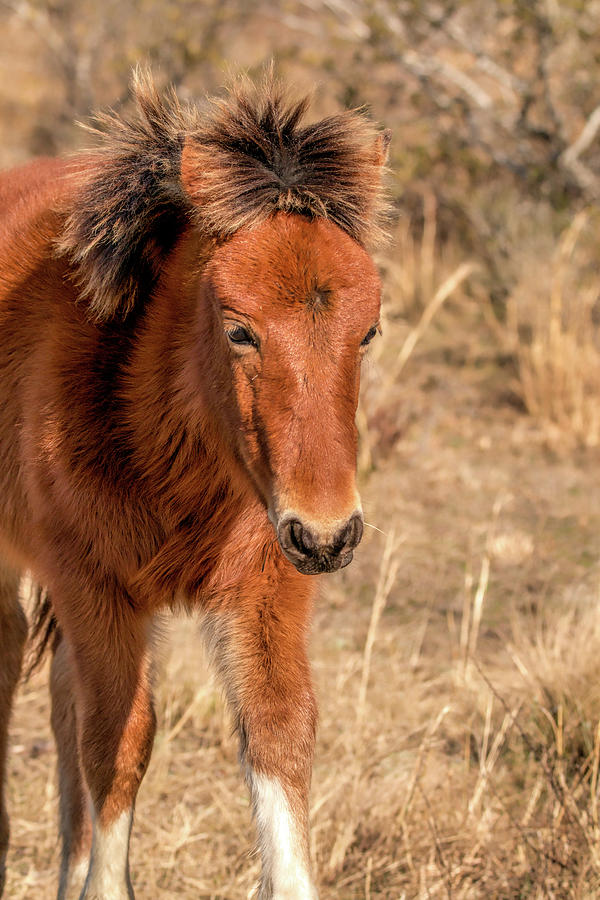 Assateague Island Pony Foal by Kristia Adams