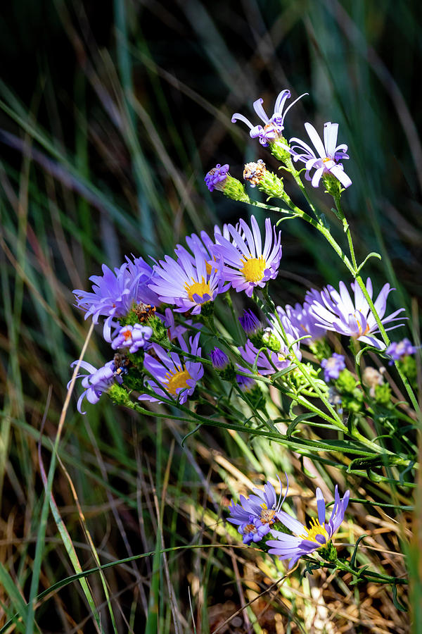 Aster Photograph - Aster 2 by Michael Chatt
