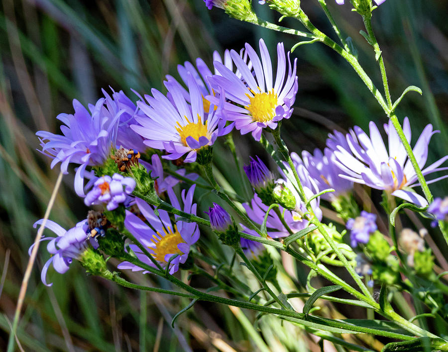 Aster Photograph - Aster 3 by Michael Chatt