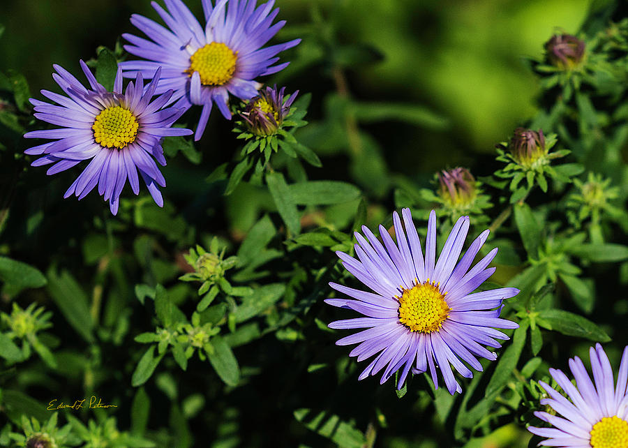 Aster by Edward Peterson