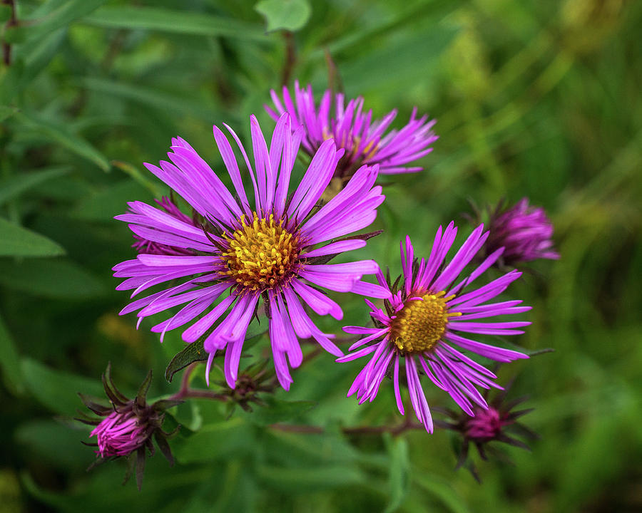 Aster In the Wild by Bill Pevlor