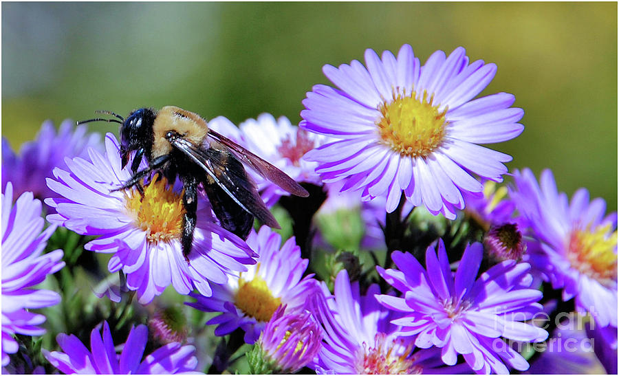 Asters and Bee by Elaine Manley