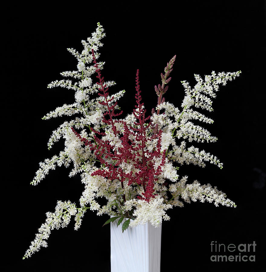 Astilbe by Ann Jacobson