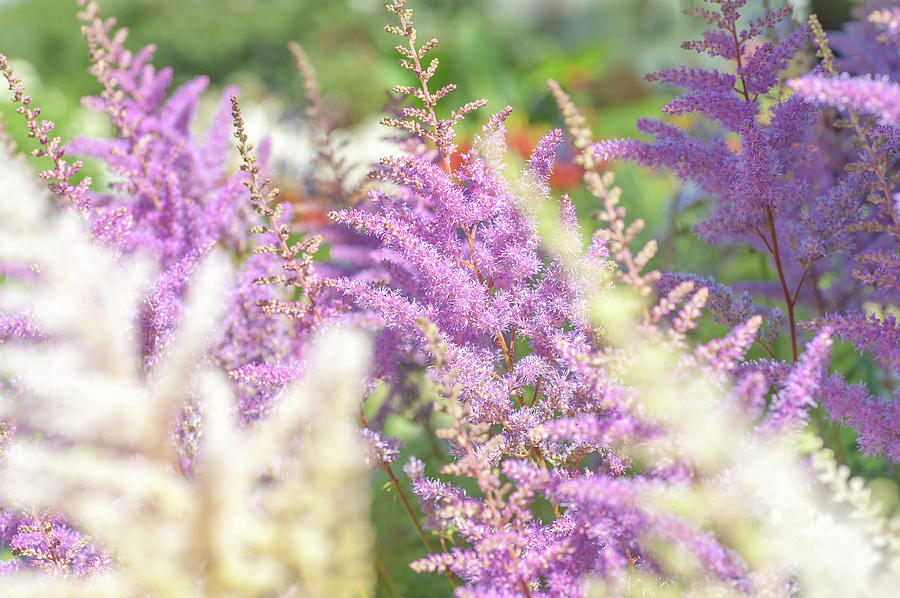 Astilbe Chinensis Pumila 1 by Jenny Rainbow