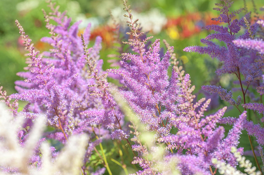 Astilbe Chinensis Pumila 2 by Jenny Rainbow