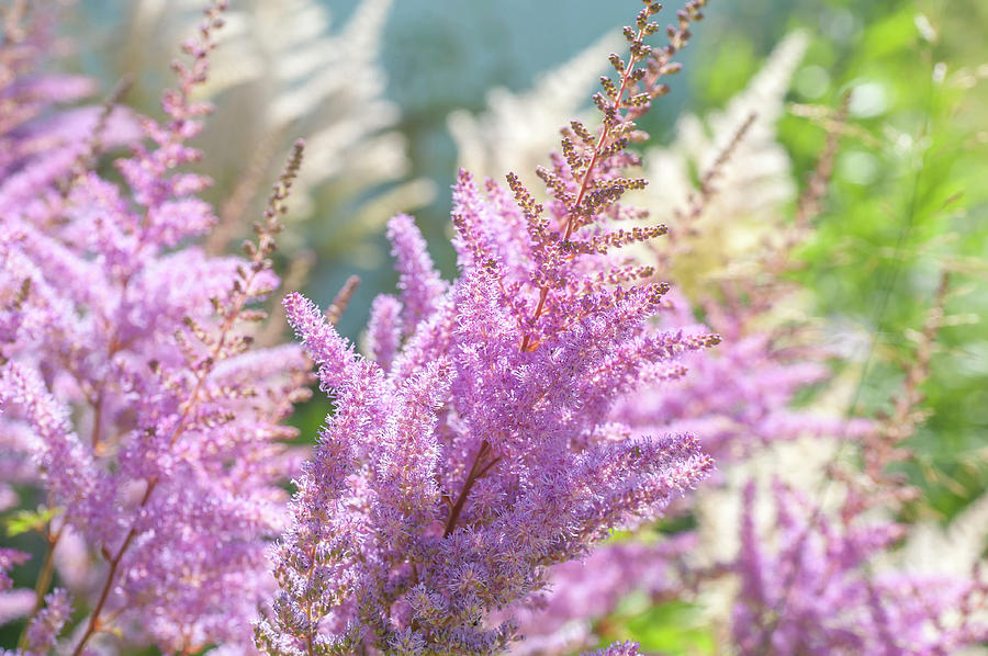 Astilbe Chinensis Pumila by Jenny Rainbow