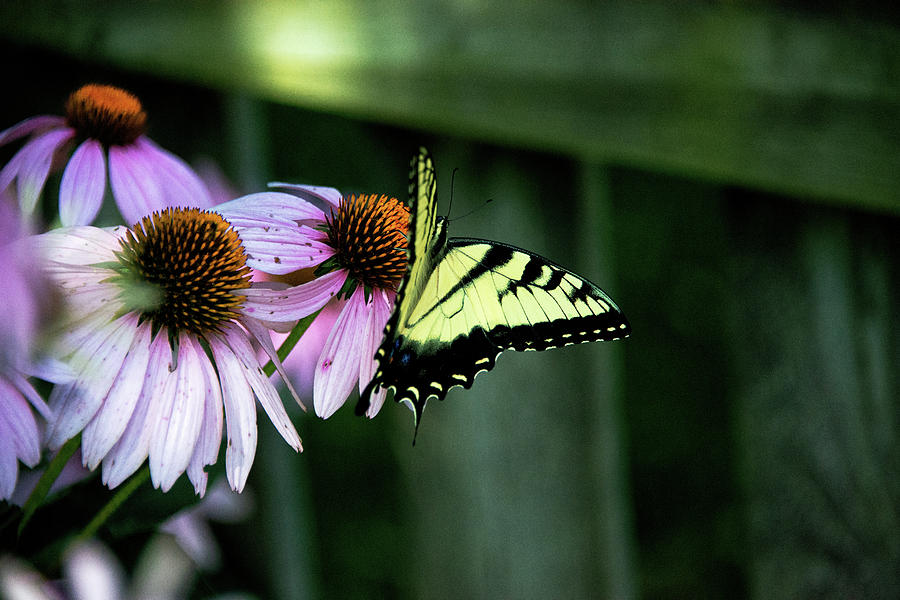 Echinacea Photograph - At Ease by Joseph Yarbrough