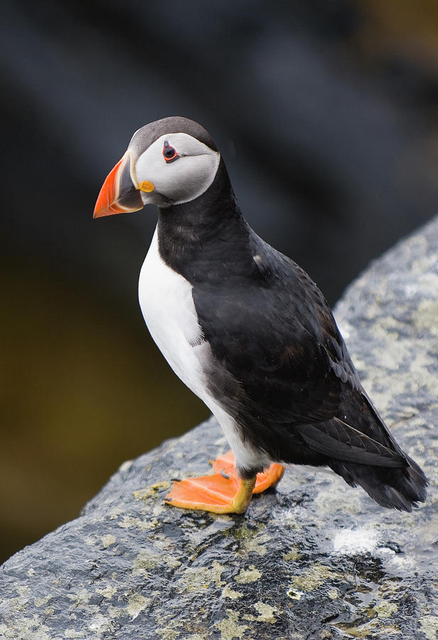 Atlantic Puffin Photograph by Northlightimages