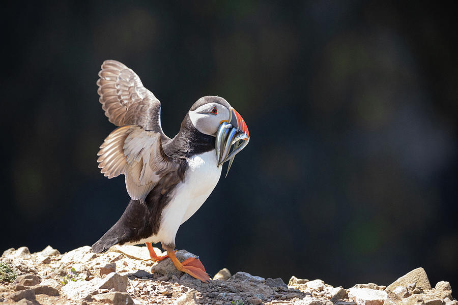 Atlantic Puffin With Sand Eels Photograph