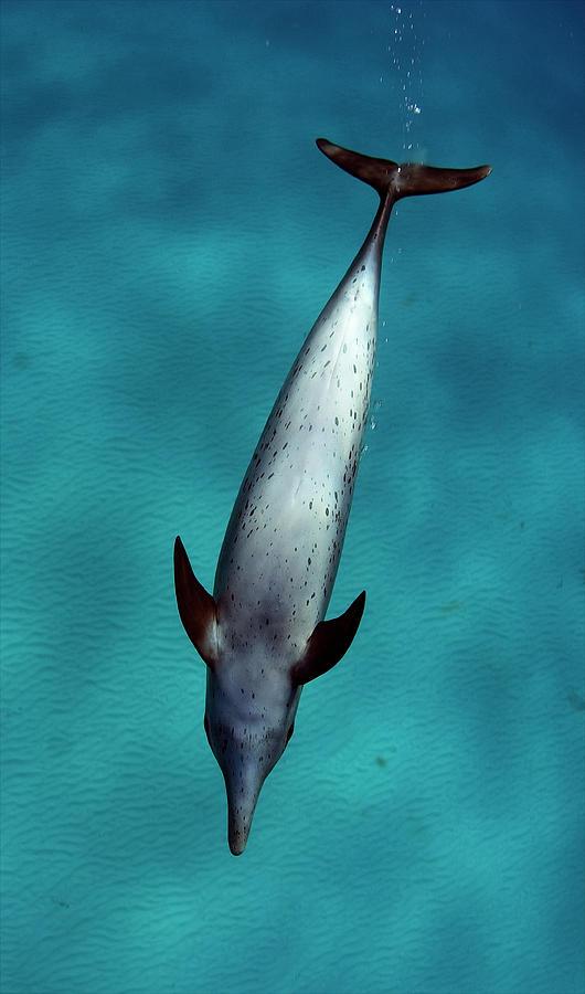 Atlantic Spotted Dolphin Photograph by Todd Mintz Www.tmintz.ca