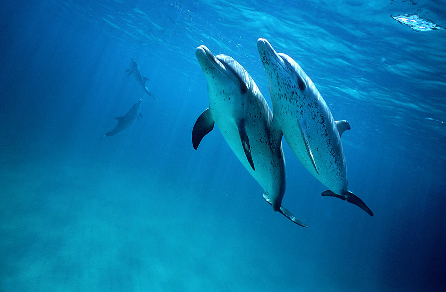 Atlantic Spotted Dolphins, Stenella Photograph by Tobias Bernhard