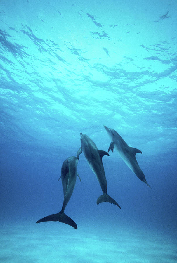 Atlantic Spotted Dolphins Underwater Photograph by Stuart Westmorland