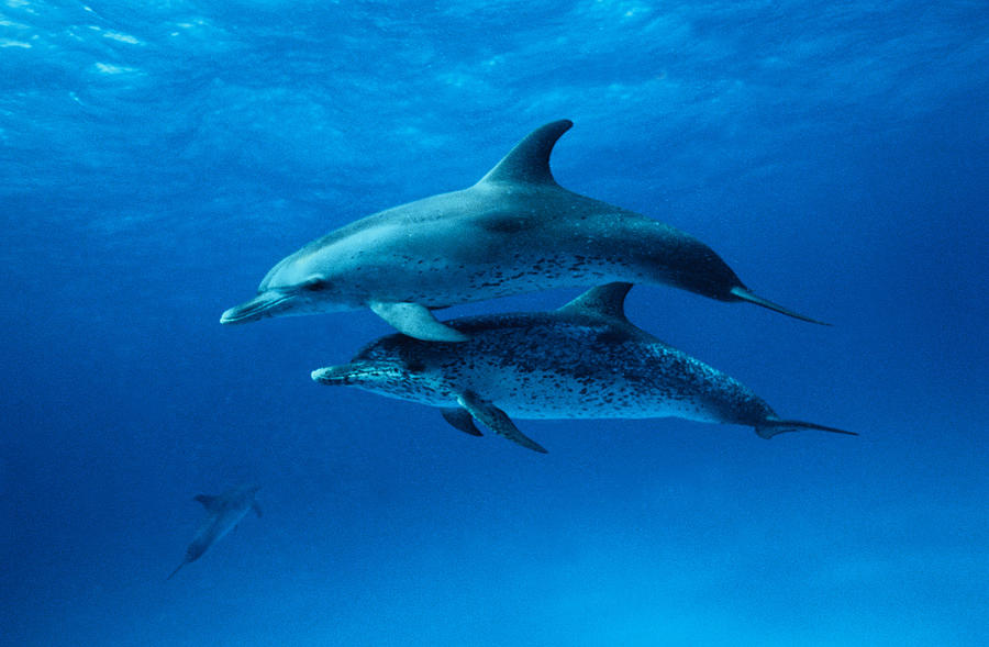 Atlantic Spotted Dolphins,stenella Photograph by Gerard Soury