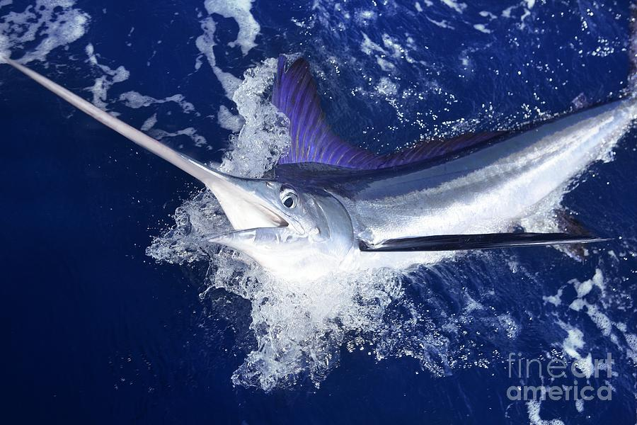 Big Photograph - Atlantic White Marlin Big Game Sport by Lunamarina